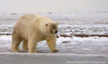 حیوانات دورگه-هیبرید-خرس قطبی خاکستری-Grolar (Grizzly + Polar) Bear