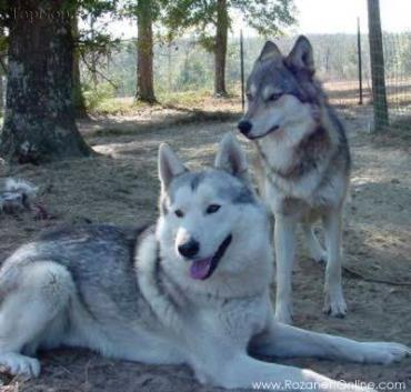 حیوانات دورگه-هیبرید-گرگی-Wolfdog