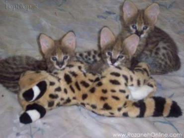 حیوانات دورگه-هیبرید-ساوانا-Savannah