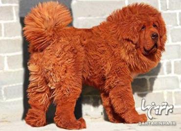 گران قیمت ترین حیوانات-سگ، یک میلیون و 600 هزار دلار
