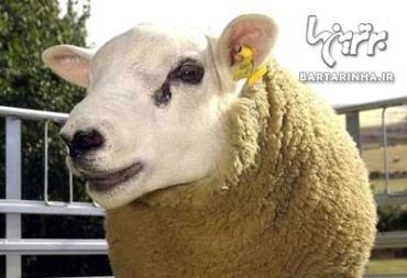 گران قیمت ترین حیوانات-گوسفند، 376 هزار دلار