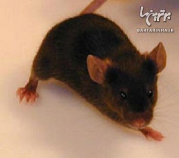 گران قیمت ترین حیوانات-موش، 269 هزار دلار