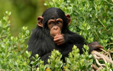 شامپانزه ها بیشتر از انسان ها از خود گذشتگی دارند - نتایج عجیب مقایسه انسان با حیوانات