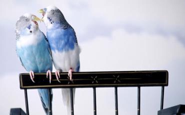 طلاق میان مرغ عشق ها بیشتر از انسان است - نتایج عجیب مقایسه انسان با حیوانات