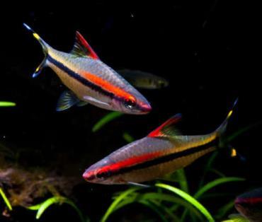 ماهی رد لاین