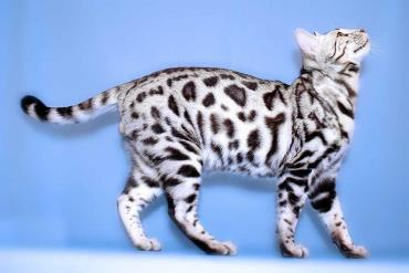 خصوصیات ظاهری گربه بنگال