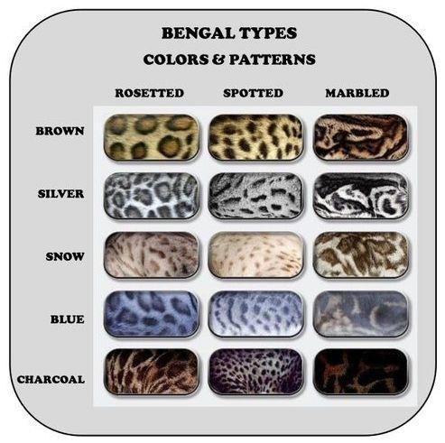 رنگ ها و الگوی پوشش گربه بنگال