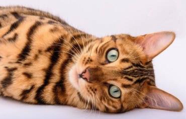 خلق و خوی گربه بنگال