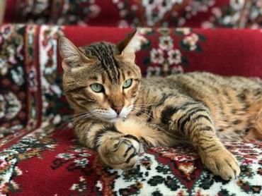 نگهداری از گربه بنگال