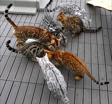 تاریخچه گربه نژاد بنگال