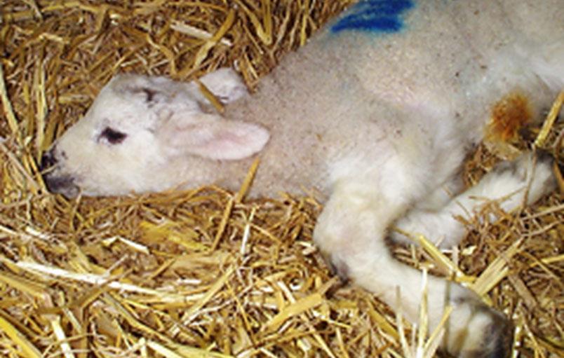 اگر گوسفندی به اغما بیفتد