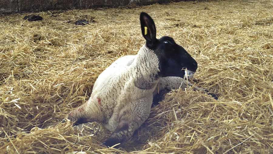 چنانچه گوسفندی به فلجی دچار شده باشد