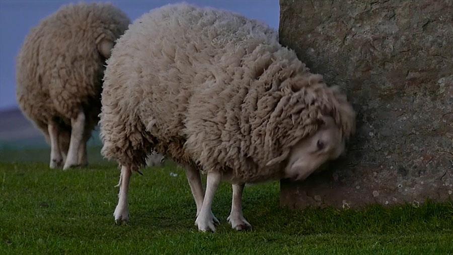 چنانچه در گوسفندی خارش وجود داشته باشد
