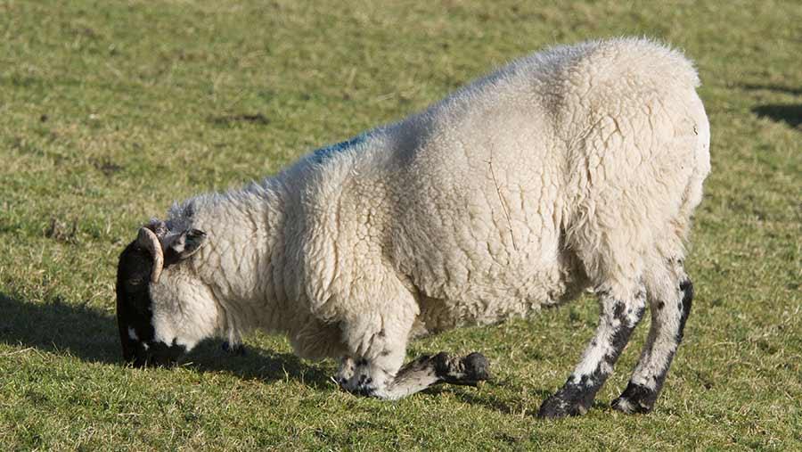 چنانچه اشکالی غیر از لنگیدن در راه رفتن گوسفند مشاهده شود