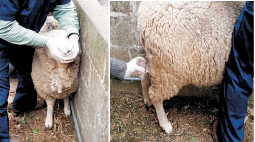 چنانچه ادرار گوسفندی قرمز یا تیره رنگ باشد