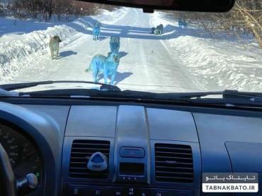 سگ های آبی در جاده های مسکو