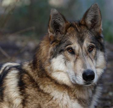 خلق وخوی نژاد سگ گرگی