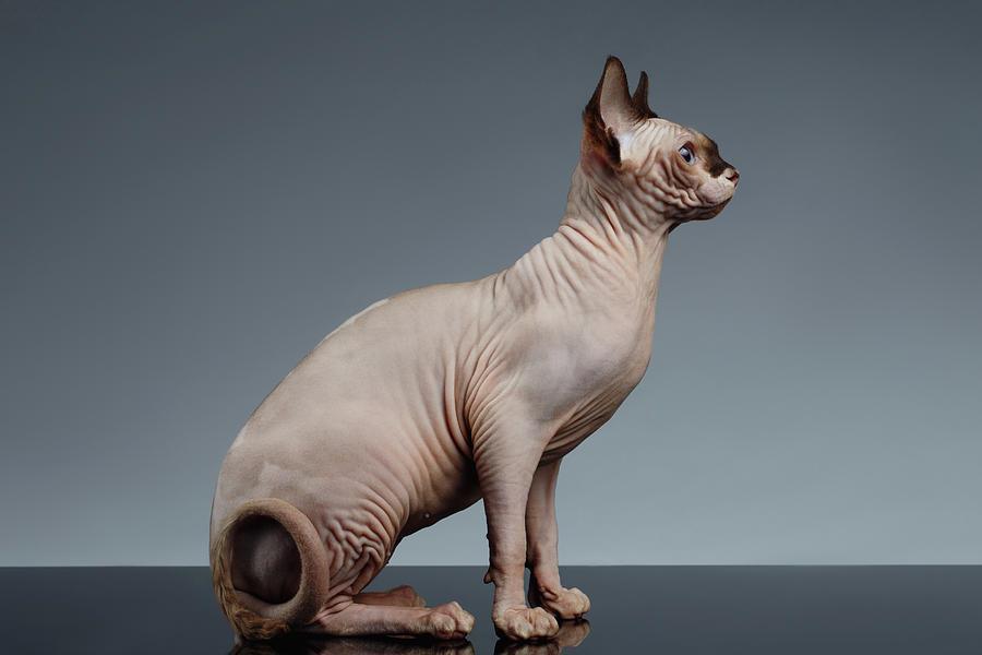 گربه نژاد اسفینکس (Sphynx cat)