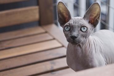 خصوصیات رفتاری گربه اسفینکس