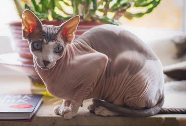 خصوصیات گربه اسفینکس