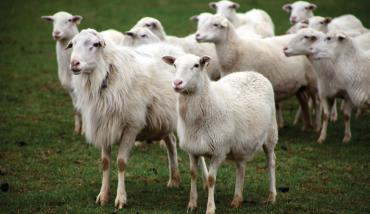 مشخصات گوسفند کاتادین