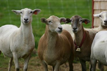 خصوصیات گوسفند کاتادین
