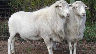 پرورش گوسفند کاتادین