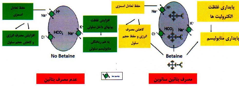 تنظیم فشار اسمزی درون سلولی