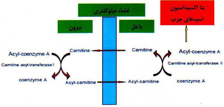 نقش در متابولیسم چربیها و تولید انرژی از منشاء اسیدهای چرب