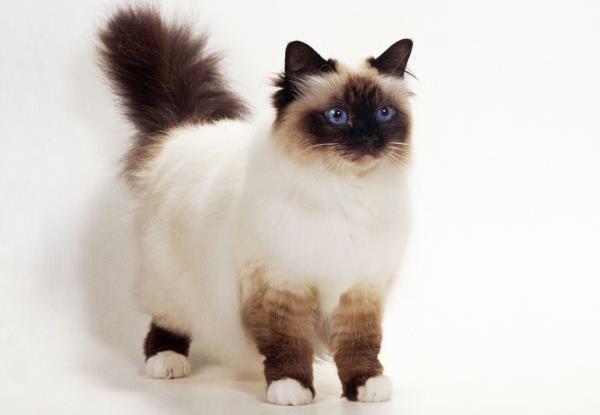 خصوصیات اخلاقی گربه بیرمن