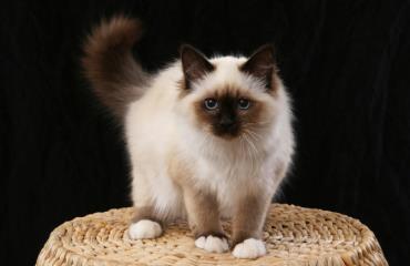 خصوصیات گربه بیرمن