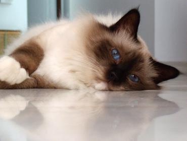 تاریخچه گربه نژاد بیرمن