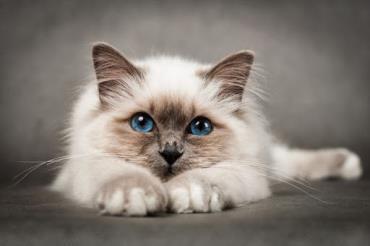 خلق و خوی گربه نژاد بیرمن