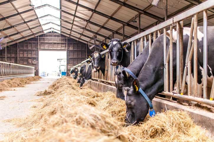 ارزیابی متابولیت های انرژی در گاوهای دوره انتقال