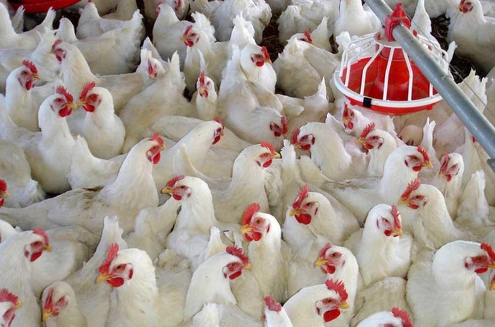 اجرای طرح تولید مرغ بدون آنتی بیوتیک در ایران