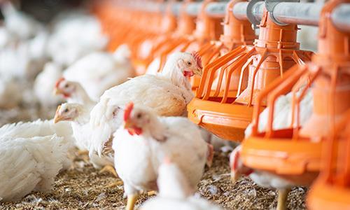 پیش نیازهای طرح تولید گوشت مرغ بدون آنتی بیوتیک