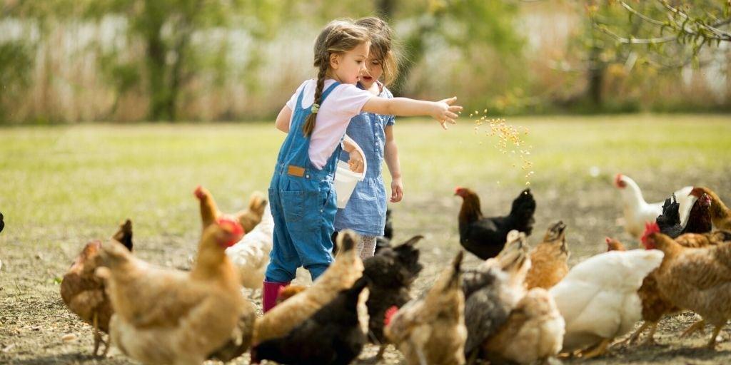 دلایل مهم اجرای طرح تولید مرغ بدون آنتی بیوتیک