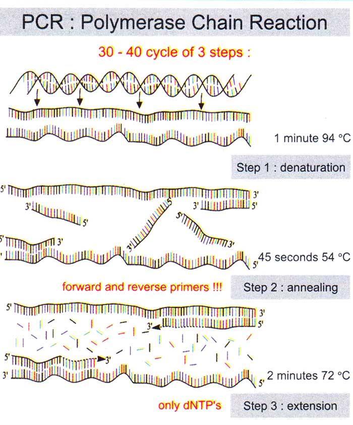 مراحل مختلف PCR