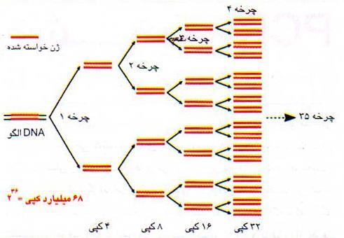 کپی تصاعدی یک ژن در PCR