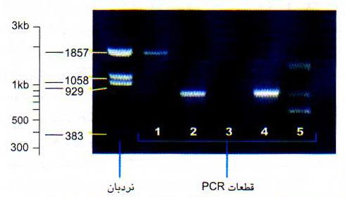 تأیید درستی محصول PCR روی ژل