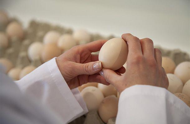 کنترل وزن تخم مرغ در گله های تخمگذار