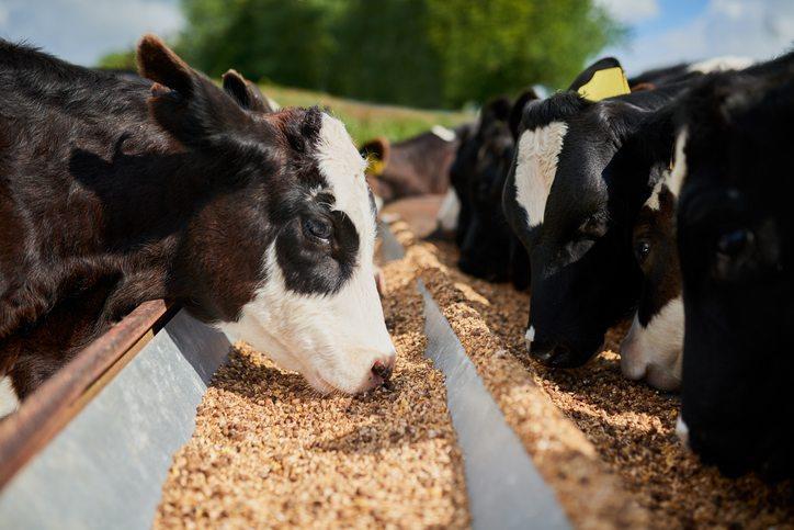 تأثیر سموم قارچی بر تولیدات گاوهای شیری