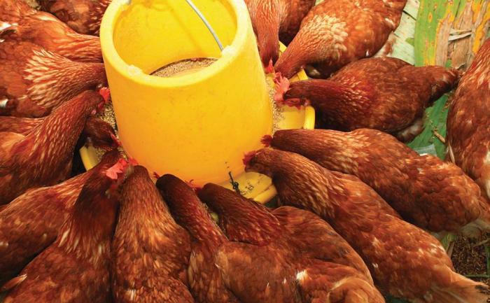 چربی های حیوانی و محتویات شکمبه در خوراک دام و طیور