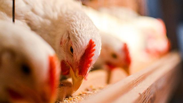 غذاهای دامی با منشاء حیوانی
