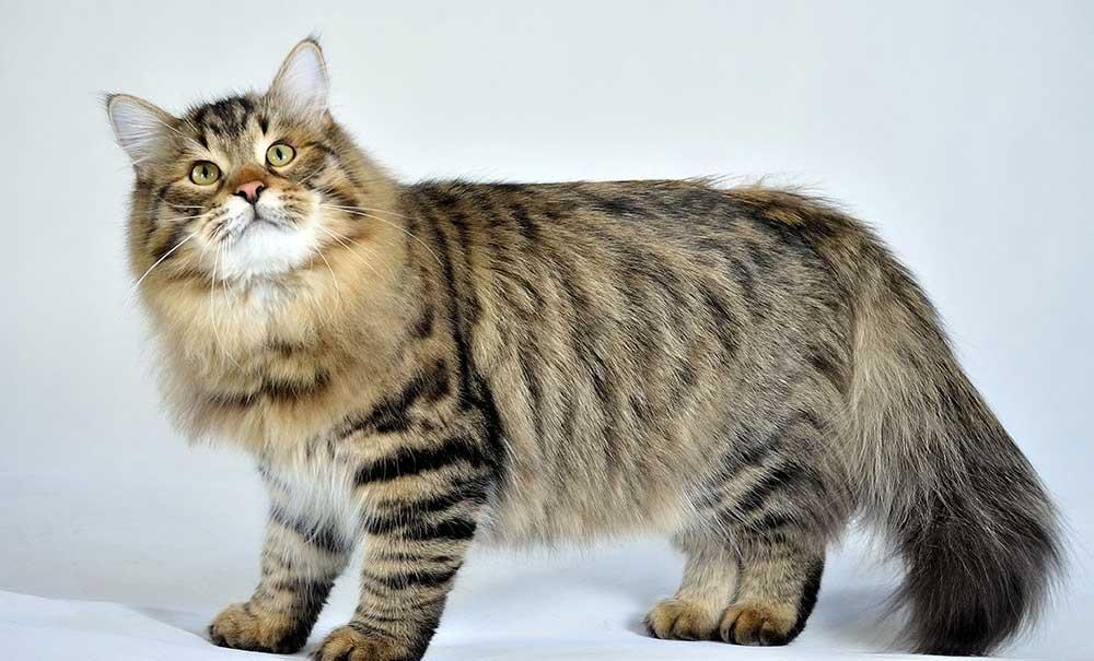 گربه سیبریایی