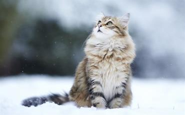 مشخصات گربه سیبریایی
