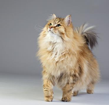 خصوصیات ظاهری گربه سیبرین