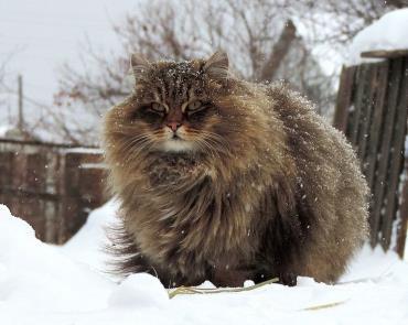 تاریخچه گربه سیبریایی