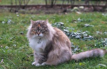 گربه سیبرین