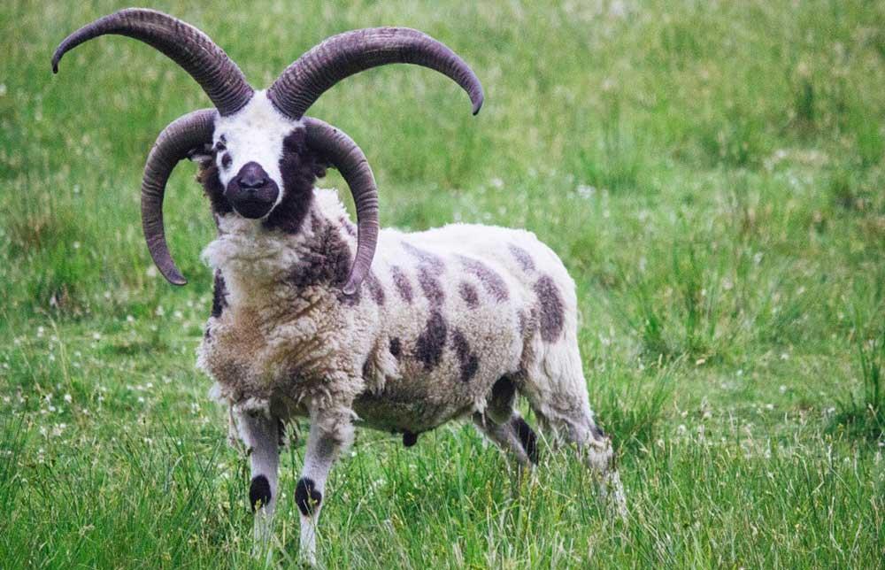 گوسفند نژاد یعقوب (Jacob Sheep)